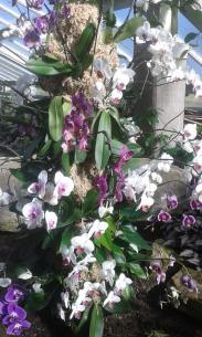Kew orchids pink
